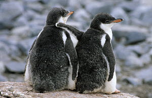 Gentoo Penguin (Pygoscelis papua) two downy chicks standing together in nesting colony, Antarctica  -  Flip de Nooyer