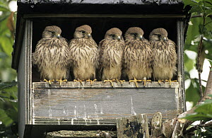 Eurasian Kestrel (Falco tinnunculus) group of five juveniles in nesting box, Europe  -  Flip de Nooyer