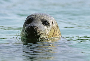 Common Seal (Phoca vitulina) adult peeking out of water, Europe  -  Flip de Nooyer