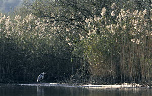 Great Blue Heron (Ardea herodias) in wetland, Europe  -  Flip de Nooyer