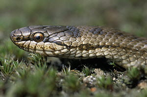Smooth Snake (Coronella austriaca) portrait, rare in the United Kingdom  -  Flip de Nooyer