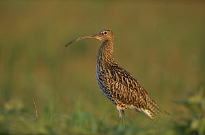 Eurasian Curlew (Numenius arquata) adult standing in open field, Europe  -  Flip de Nooyer