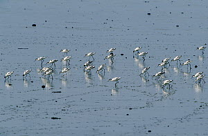 Pied Avocet (Recurvirostra avosetta) flock foraging at low tide, Europe  -  Flip de Nooyer