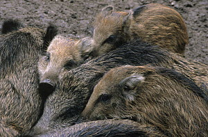 Wild Boar (Sus scrofa) group of young huddled together, Europe  -  Flip de Nooyer