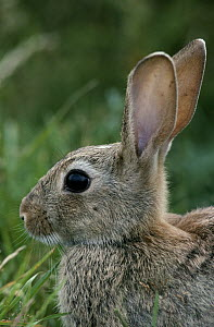 European Rabbit (Oryctolagus cuniculus) portrait, Europe, introduced worldwide  -  Flip de Nooyer