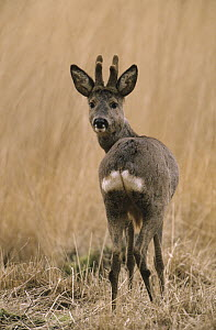 Western Roe Deer (Capreolus capreolus) adult looking back over its shoulder, Europe  -  Flip de Nooyer