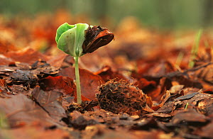 European Beech (Fagus sylvatica) seedling sprouting from forest floor, Europe  -  Flip de Nooyer