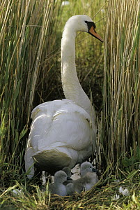 Mute Swan (Cygnus olor) parent on nest with cygnets, Europe  -  Flip de Nooyer