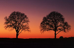 Two trees on horizon silhouetted against red sky at dusk, Europe  -  Flip de Nooyer