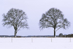 Two trees on horizon in winter, Europe  -  Flip de Nooyer