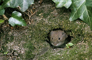 Common Vole (Microtus arvalis) adult peering from burrow, Europe  -  Flip de Nooyer