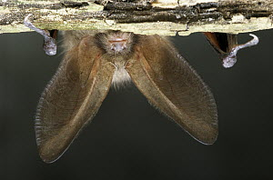 Brown Long-eared Bat (Plecotus auritus) hanging upside down, Europe  -  Flip de Nooyer