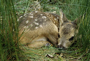 Western Roe Deer (Capreolus capreolus) spotted fawn laying in grass, Europe  -  Flip de Nooyer