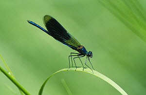 Banded Demoiselle (Calopteryx splendens) damselfly, on a blade of grass, Europe  -  Flip de Nooyer