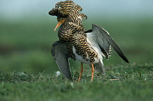 Ruff (Philomachus pugnax) adult displaying during courtship, Europe  -  Flip de Nooyer