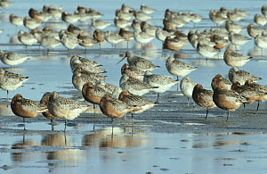 Black-tailed Godwit (Limosa limosa) flock resting in estuary at high-tide, Europe  -  Flip de Nooyer