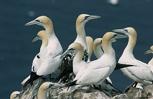 Northern Gannet (Morus bassanus) group on coastal rocks, Canada  -  Flip de Nooyer