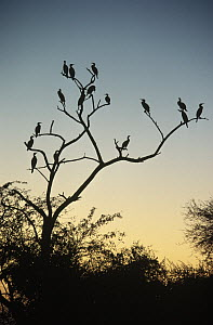 Great Cormorant (Phalacrocorax carbo) flock perched in bare tree silhouetted against the sky at dusk, Europe  -  Flip de Nooyer