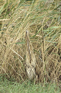 Great Bittern (Botaurus stellaris) adult camouflaged among wetland grasses, Europe  -  Flip de Nooyer