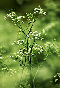 Wild Chervil (Anthriscus sylvestris) in bloom, introduced into North America, Europe - Jan Vermeer