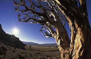 Quiver Tree (Aloe dichotoma) close up, Namibia - Winfried Wisniewski