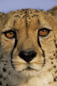 Cheetah (Acinonyx jubatus) close up of face showing 'tear mark' pattern, Africa  -  Winfried Wisniewski