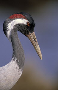 Common Crane (Grus grus) portrait, Europe  -  Winfried Wisniewski
