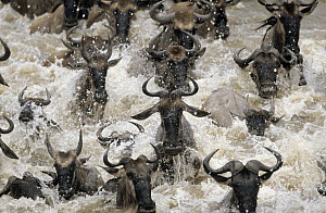 Blue Wildebeest (Connochaetes taurinus) migrating herd crossing river, Africa  -  Winfried Wisniewski
