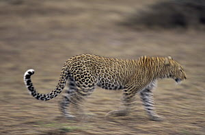 Leopard (Panthera pardus) walking across bare ground, Africa  -  Winfried Wisniewski