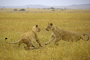 African Lion (Panthera leo) females playing, Masai Mara National Reserve, Kenya  -  Winfried Wisniewski