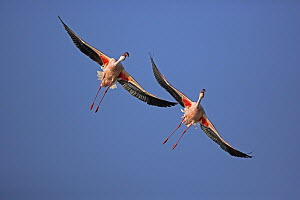 Lesser Flamingo (Phoenicopterus minor) pair flying, Lake Nakuru National Park, Kenya  -  Winfried Wisniewski