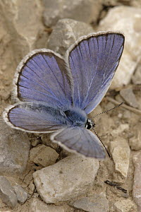Chapman's Blue (Agrodiaetus thersites) butterfly drinking from very small puddle, Netherlands  -  Silvia Reiche