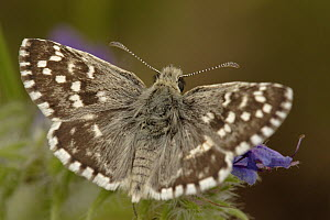 Grizzled Skipper (Pyrgus malvae) butterfly on flower, Netherlands - Silvia Reiche