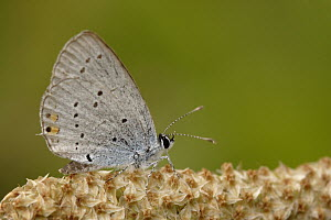Short-tailed Blue (Cupido argiades) butterfly on flower, Netherlands  -  Silvia Reiche