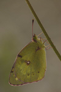 Clouded Yellow (Colias croceus) butterfly on stalk, St. Nazaire le Desert, France  -  Silvia Reiche