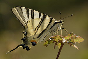 Scarce Swallowtail (Iphiclides podalirius) butterfly male, St. Nazaire le Desert, France  -  Silvia Reiche