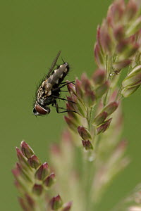 House Fly (Musca domestica) resting on grass, Netherlands  -  Silvia Reiche