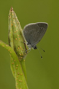 Little Blue Butterfly (Cupido minimus) on bud, Germany  -  Silvia Reiche