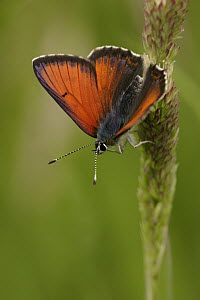Purple-edged Copper (Lycaena hippothoe) butterfly on grass, Germany  -  Silvia Reiche