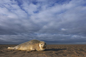 Common Seal (Phoca vitulina) on beach, Donna Nook Nature Reserve, England  -  Jasper Doest
