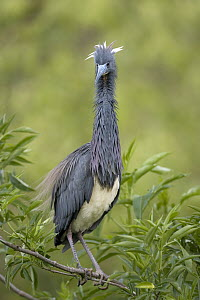 Tricolored Heron (Egretta tricolor) with ruffled feathers in tree, Florida  -  Winfried Wisniewski