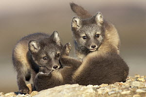 Arctic Fox (Alopex lagopus) kits playing, Svalbard, Norway - Jasper Doest