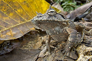 Solomon Island Leaf Frog (Ceratobatrachus guentheri) unlike most aquatic breeding frogs, females lay their eggs in shallow underground nests from which tiny but fully developed froglets hatch without... - Piotr Naskrecki