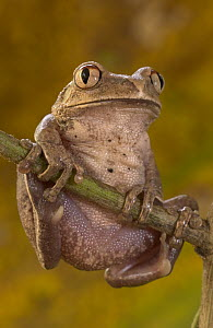 African Tree Frog (Leptopelis hyloides) common in West African forests, their adaptations to the arboreal lifestyle such as enlarged toe pads and grasping fingers are examples of evolutionary converge...  -  Piotr Naskrecki