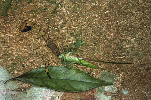 Brown-faced Spear Bearer (Copiphora hastata) killed by large Scorpion (Centruroides limbatus), Costa Rica - Piotr Naskrecki