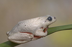 Painted Reed Frog (Hyperolius marmoratus) changing color from darkly patterned to white by contracting or expanding skin cells called chromatophores, white skin reflects sunlight effectively lowering... - Piotr Naskrecki