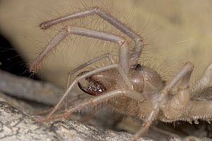 Sun Spider (Solifuga) does not have venom glands, their large mouthparts, or chelicerae, are strong enough to kill prey at least as big as themselves, diurnal, Botswana  -  Piotr Naskrecki