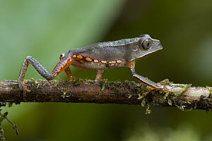 White-lined Monkey Frog (Phyllomedusa vallianti) walking along twig, Guyana  -  Piotr Naskrecki