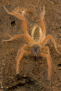 Sun Spider (Solifuga) does not have venom glands, their large chelicerae are strong enough to kill prey at least as big as themselves, South Africa  -  Piotr Naskrecki
