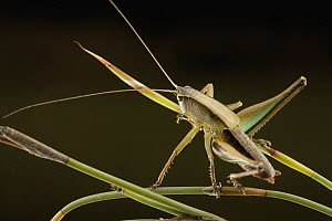 Katydid (Tettigoniidae) a new, yet undescribed species of Ceresia, which produces loud yet inaudible to humans calls in the range of 30-120 kHz, South Africa  -  Piotr Naskrecki